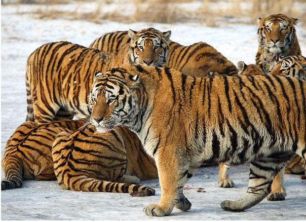 Good News ! Tiger population in Manas Nation Park increases