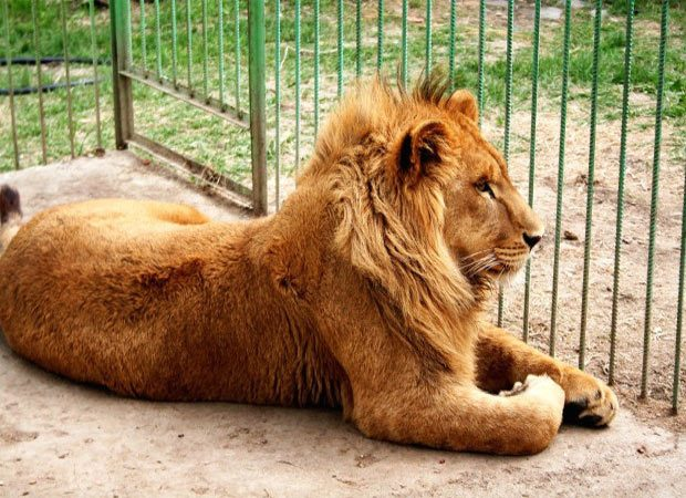 All lions, lioness ailing at Lion Safari: United States experts