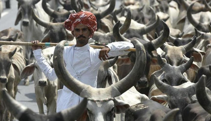 Life imprisonment for cow slaughter in Gujarat
