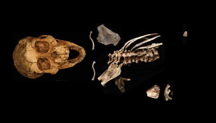 3.3-million-year-old fossil unravels origins of human spine