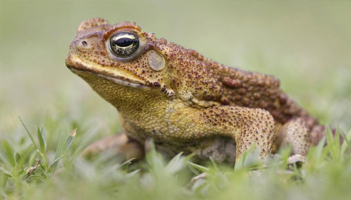 US biologists discover three new species of toads