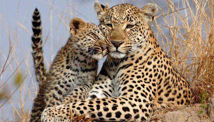 Conservationists sound alarm: India loses 106 leopards in 2 months