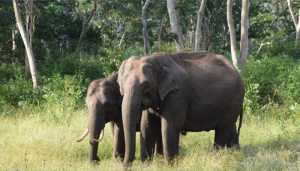 Elephants can adapt to human habitation but sirens stress them out