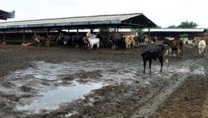 Cows in shelters in India suffer from chronic stress: Study
