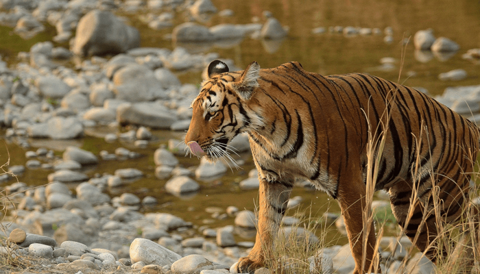 PM releases tiger census report, their population doubles since 2014