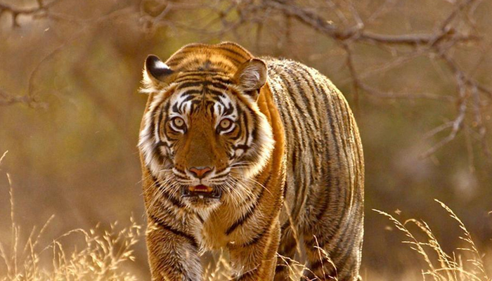 NTCA red flags MPs move to increase tourism inside tiger reserves