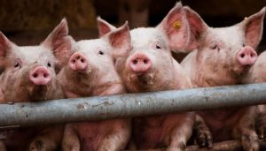 South Korea culls pigs after confirming African swine fever