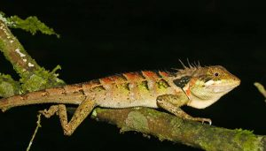Western Ghats: 6 new lizard species found by scientists