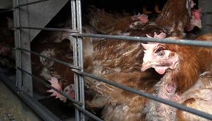 Poultry farmers in Punjab, Haryana stare at losses due to feed shortage