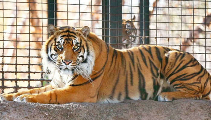 Animal safety measures in place at Punjabs Chhatbir Zoo after tiger test COVID-19 positive in US