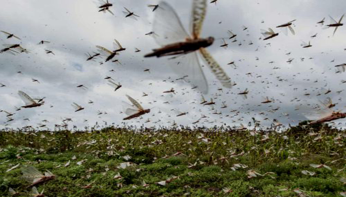 Locust Attack in UP: Swarms Of Locust Arrives In Lucknow