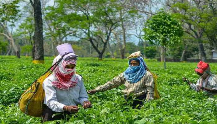 Erratic power supply posing a challenge to tea industry in Assam Barak valley