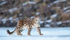 Uttarakhand to come up with snow leopard conservation centre