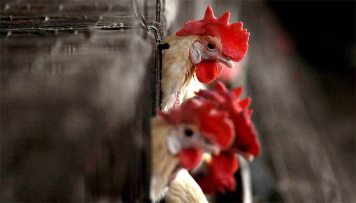 Bird Flu Scare: Is it safe to consume eggs, chicken amidst outbreak? Heres what WHO says