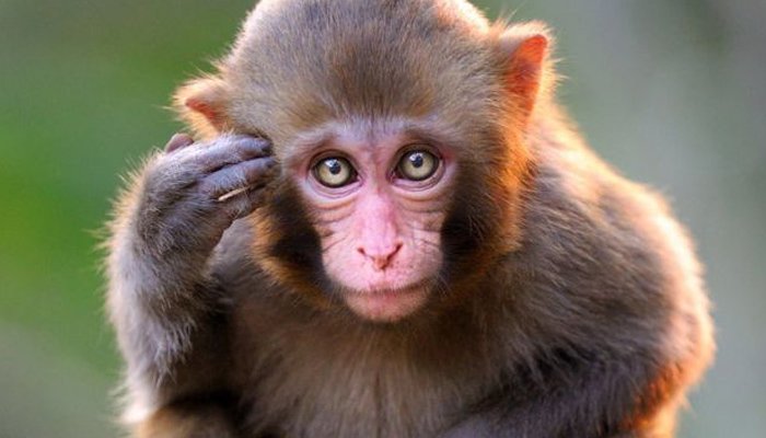 Monkey fatally attacks 12-day-old infant in Agra