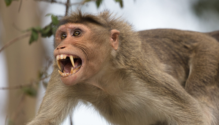Monkey terror in Agra, two deaths recorded