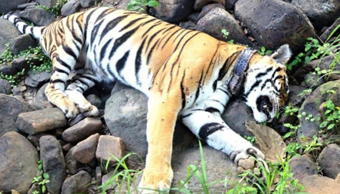 Three-yrs-old Royal Bengal Tiger found dead in Odisha forest